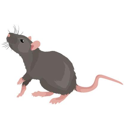Kammerjäger Schädlingsbekämpfung Frankfurt für Ratten und Mäuse